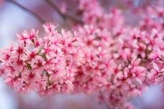 Beautiful pink Sakura flower blooming Stock Images