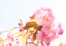 Beautiful pink Sakura Royalty Free Stock Image