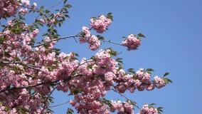 Pink sakura flowers bloom spring. Beautiful pink sakura flowers bloom in the botanical garden in the spring close-up stock video