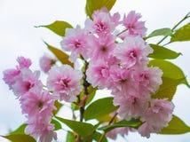 Beautiful pink sakura flowers blossom closeup. In the park Stock Images