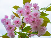 Beautiful pink sakura flowers blossom closeup. In the park Stock Photos