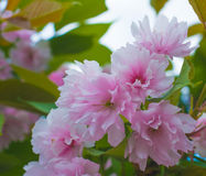 Beautiful pink sakura flowers blossom closeup. In the park Stock Image