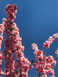 Beautiful pink sakura flowers on branches in blue sky, copy space. Cherry tree blossoms on sky in sunny garden. Hello spring. Phone photo royalty free stock image