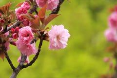 Beautiful pink sakura flowers Stock Photos