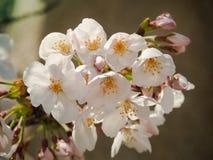 Beautiful Pink Sakura Flowers Stock Photography