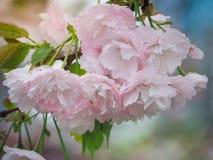 Beautiful Pink Sakura full blooming at the season Royalty Free Stock Images