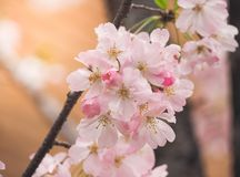 Beautiful Pink Sakura full blooming at the season Royalty Free Stock Photos