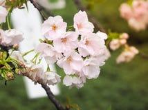 Beautiful Pink Sakura full blooming at the season Royalty Free Stock Image