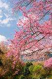 Beautiful pink sakura tree with blue sky Stock Photos