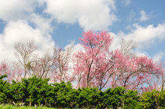 Beautiful pink sakura tree with blue sky Royalty Free Stock Photography