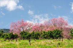 Beautiful pink sakura tree with blue sky Royalty Free Stock Image
