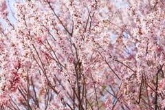Beautiful pink sakura tree Royalty Free Stock Image