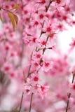 Beautiful pink sakura in winter season. Stock Photo
