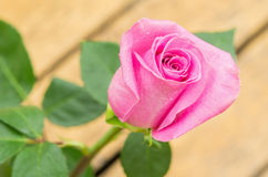 Beautiful pink single ecuadorian rose Stock Image
