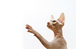 Beautiful pink sphynx cat portrait Royalty Free Stock Photography