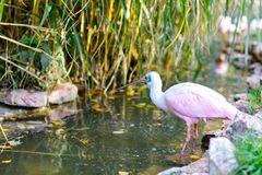 Beautiful pink spoonbill bird. Animal and bird park in Walsrode, Germany.  royalty free stock photos