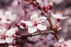 Beautiful pink spring cherry blossom Stock Photography