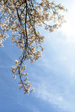 Beautiful pink spring flowers magnolia on a tree branch Stock Photography