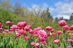Pink spring tulips and trees Stock Photos
