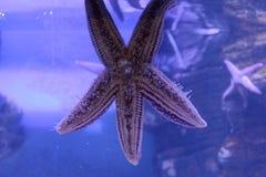 Beautiful pink starfish in a close-up aquarium Stock Image
