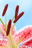 Beautiful Pink Stargazer Lily Flower Stock Photo