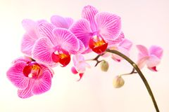 Beautiful pink streaked orchid flower Stock Photos
