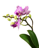 Beautiful pink striped orchid Stock Photos