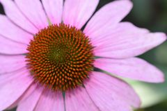 Beautiful pink summer flower in the sunshine stock photos