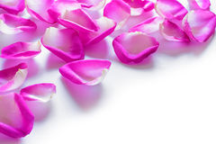 Beautiful Pink Rose Petals on the White Background Royalty Free Stock Images
