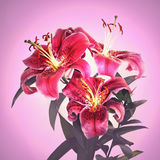 Beautiful pink tiger lily flower Stock Images