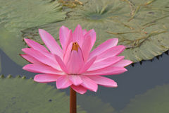 Beautiful pink Tropical water lily Stock Photos