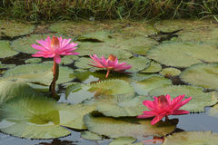 Beautiful pink Tropical water lily Stock Photo