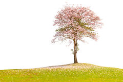 The beautiful pink trumpet tree standing alone in green field co Royalty Free Stock Images