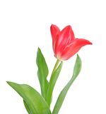 Beautiful pink tulip Royalty Free Stock Images