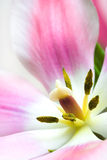 Beautiful pink tulip Royalty Free Stock Image