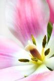 Beautiful Pink Tulip Royalty Free Stock Image