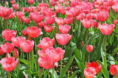 Beautiful pink tulip bed in one of the many Istanbul parks Royalty Free Stock Image