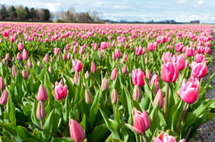 Beautiful pink tulip field in Holland Stock Image