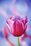 BEAUTIFUL PINK TULIP FLOWER Royalty Free Stock Image