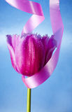 BEAUTIFUL PINK TULIP FLOWER Stock Images