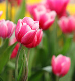 Beautiful pink tulip on graden. Royalty Free Stock Photography