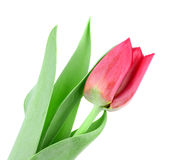 Beautiful pink tulip isolated on white Royalty Free Stock Photo