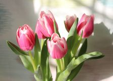 Beautiful pink tulip Stock Images