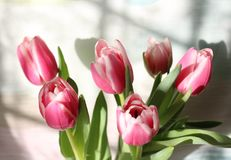 Beautiful pink tulip Stock Image