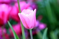 Beautiful pink tulip on a pink and green background on a spring day. Tulips are wonderful representatives of the spring holiday of life. Tulips adorn our lives royalty free stock image
