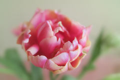 Beautiful pink tulip. A beautiful spring flower pink tulip, crossed species with a peony, in full blossom in spring in soft focus Stock Image