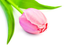 Beautiful Pink Tulip on white background, gentle spring flower Stock Photography
