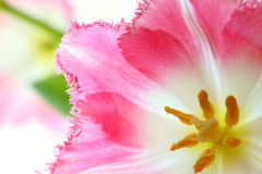 Beautiful pink tulips Royalty Free Stock Photo