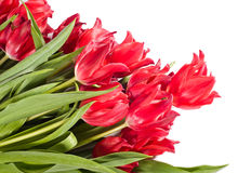 Beautiful pink tulips Stock Images