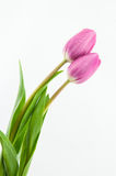 Beautiful pink tulips Stock Image